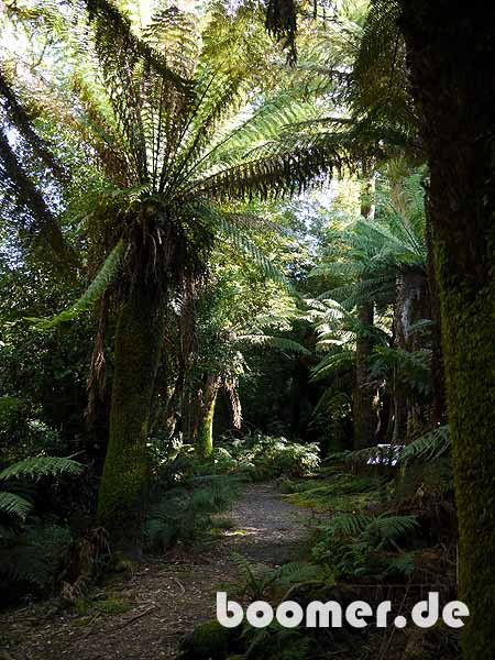 Regenwald in Tasmanien