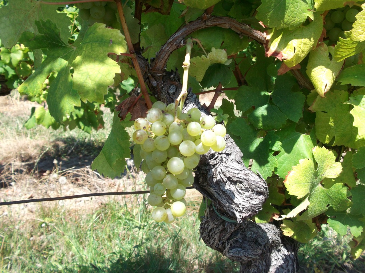 raisins blancs, vin blancs