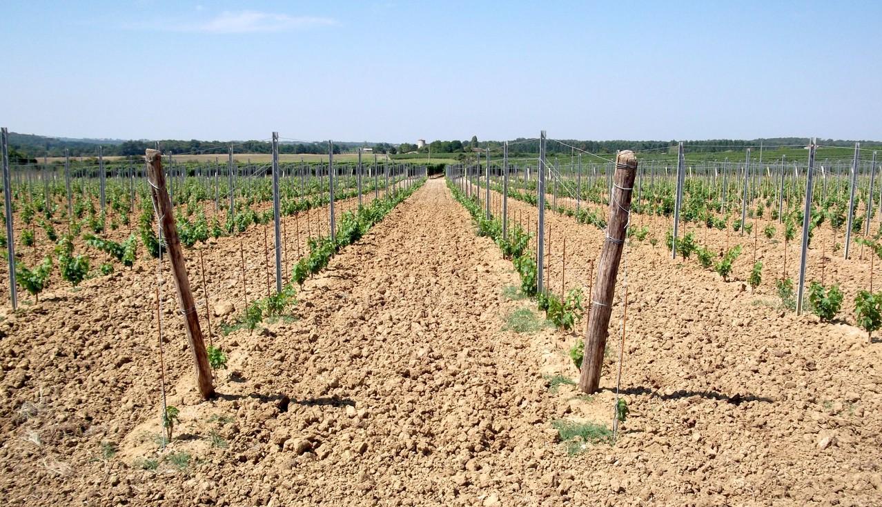 vignobles bordelais jeunes plants
