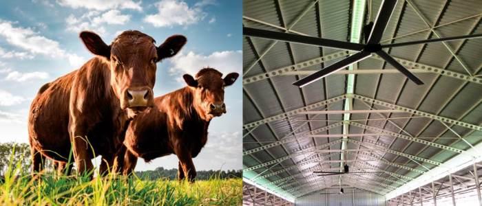 HVLS Deckenventilatoren gegen Hitzestress bei der Milchkuhhaltung