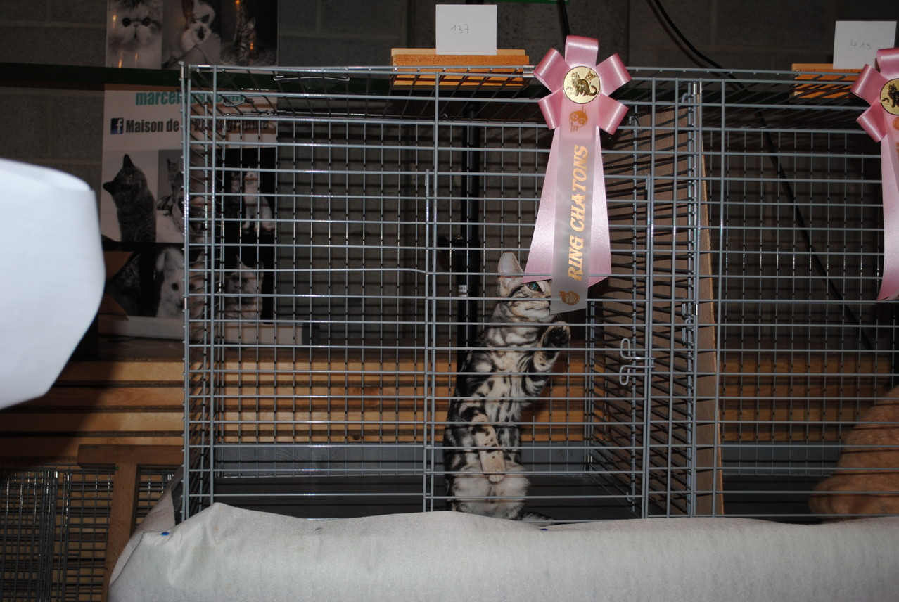 WCF 27/10/2013: Ringkeuring kittens: 10e plaats van totaal 51 kittens + Traditioneel EX 1 + Nom BIS