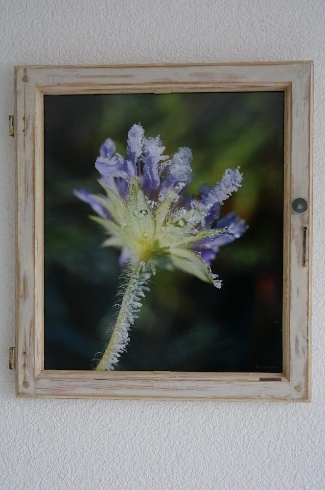 petite fleure violette avec cristaux de glace