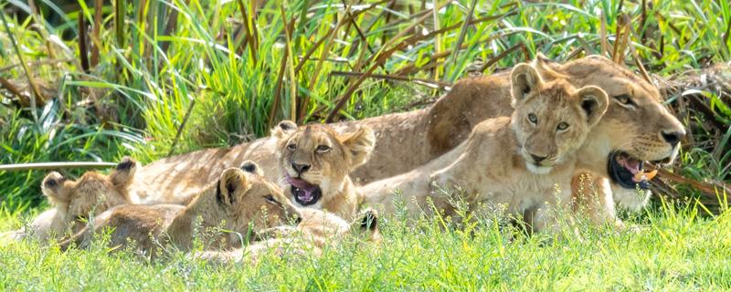 Série de photos d'une famille de Lion , Panthera leo