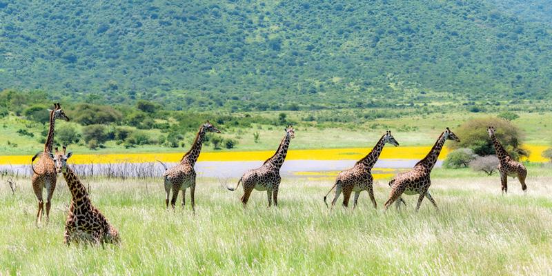 Masai Girafe, Giraffa tippelskirchii