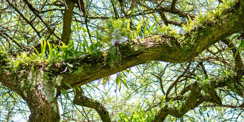 Plantes épiphytes, typique des arbres de la forêt tropicale.