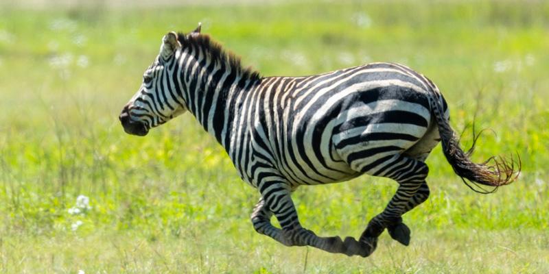 Zèbre de Grant, Equus quagga boehmi