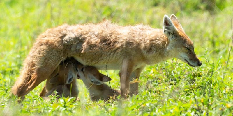 Golden jackal, Canis aureus with cubs