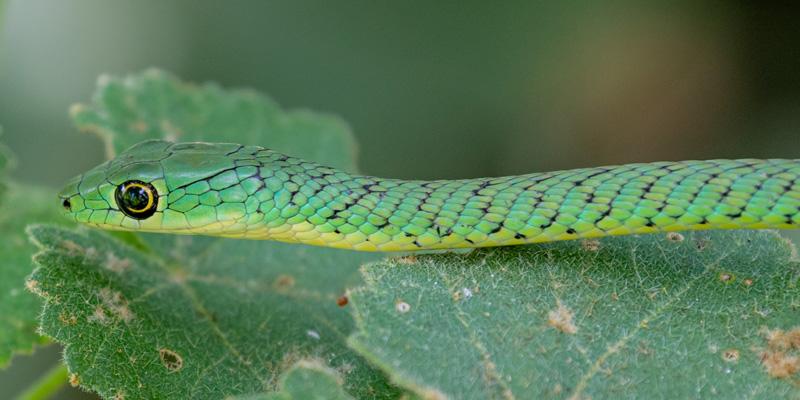 Spotted bush snake, Philothamnus emivariegatus