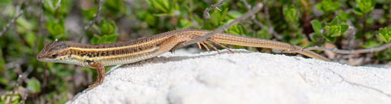 Snake-eyed lizard, Ophisops elegans