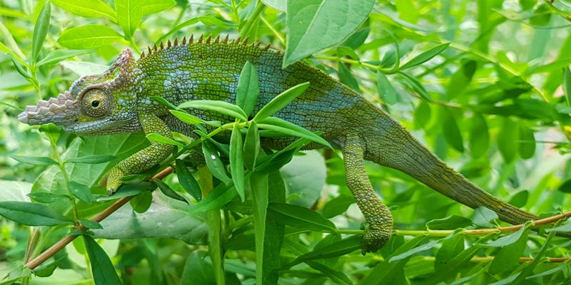 Caméléon à deux cornes de l'ouest de l'Usambara, Kinyongia multituberculata. Endémique de l'ouest des Usambara