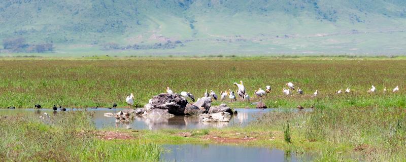 Zone humide au fond du cratère de N'gorongoro. Un paradis pour une grande diversité d'Oiseaux.