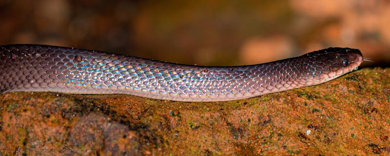 Clelia obscure, Clelia clelia. Très grande couleuvre de plus de 2m se nourissant d'autres serpents dont les jeunes Fer-de-lance!