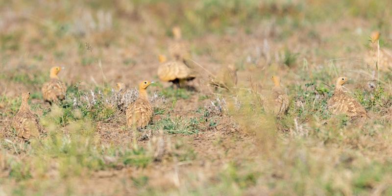 Chestnut-bellied Sandgrouse, Pterocles exustus. Awash National park