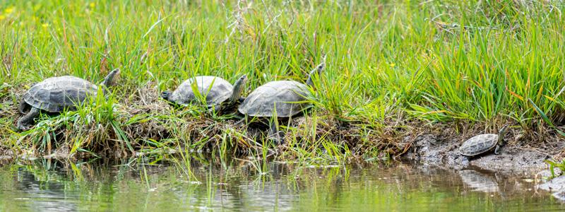 Caspian turtle, Mauremys caspica