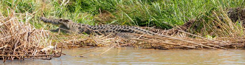 Crocodile du Nil  Crocodylus niloticus