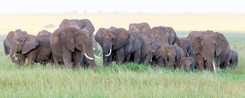 Troupeau d' Eléphant de savane, Loxodonta africana, se rapprochant de nous. Un grand moment du voyage de croiser leur regard!