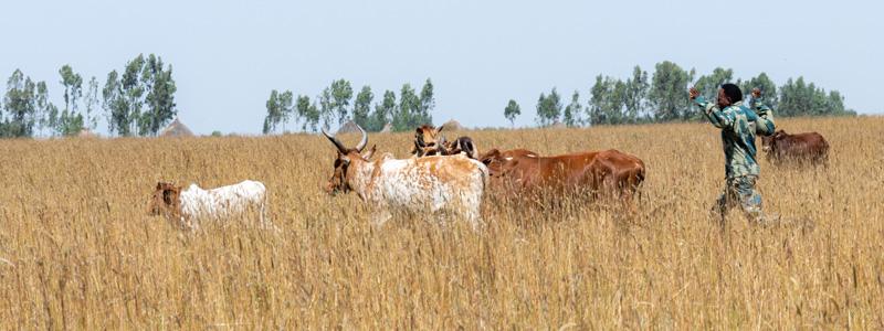 Un ranger tente d'éloigner un troupeau de vaches,pâturant illégalement, une des menace pesant sur le sanctuaire et le Bubale
