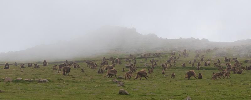 Gélada, Theropithecus gelada dans les montagnes d'Ankober