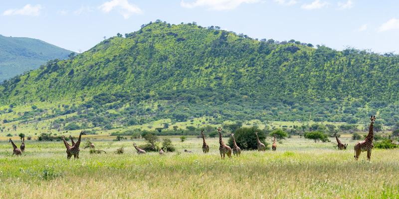Girafe, Giraffa camelopardalis dans leur milieu naturel.