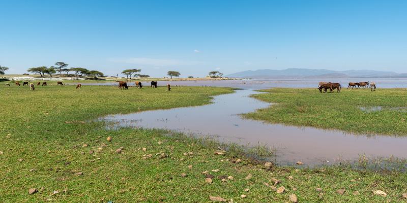 Bord du lac Langano, Forêt de Bishangari. Le bétail est partout