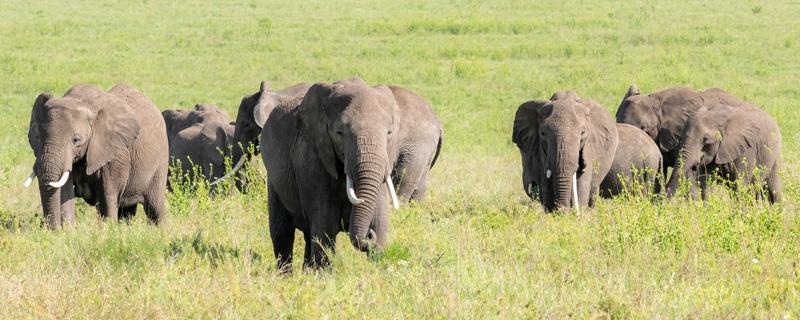 Eléphant de savane, Loxodonta africana