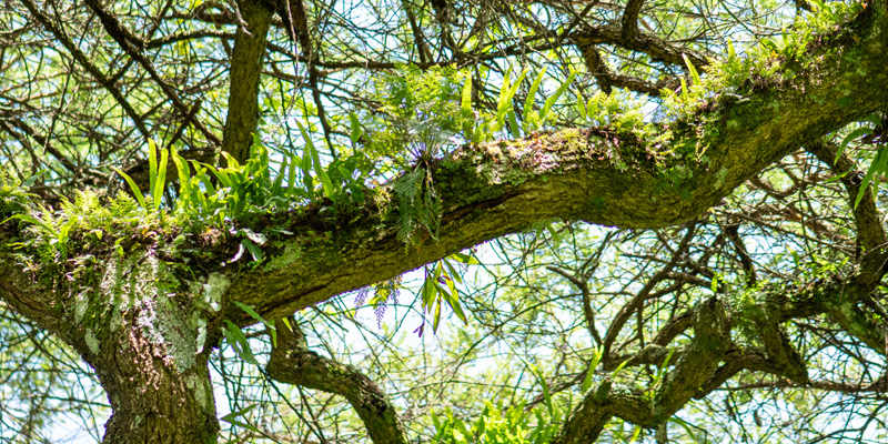 Epiphytic plants, typical of tropical forest trees.