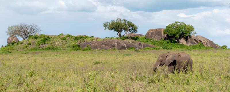 African bush elephant, Loxodonta africana in its environment.