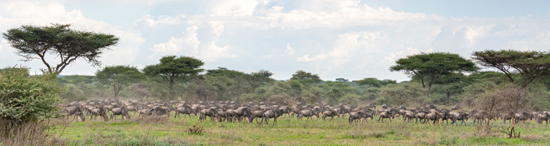 Migration of Western white-bearded wildebeest, Connochaetes taurinus mearnsi