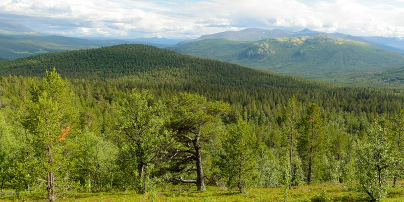 Foret la plus élevée en altitude de la Norvège, vallée de Valdes