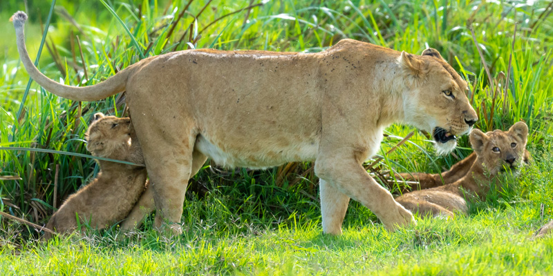 A series of pictures of a family of Lion, Panthera leo