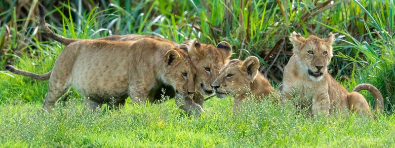 Série de photos d'une famille de Lion, Panthera leo