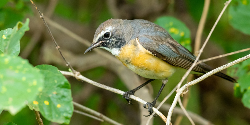 White-throated Robin, Irania gutturalis. Nice surprise of the Eastern Palearctic in wintering.