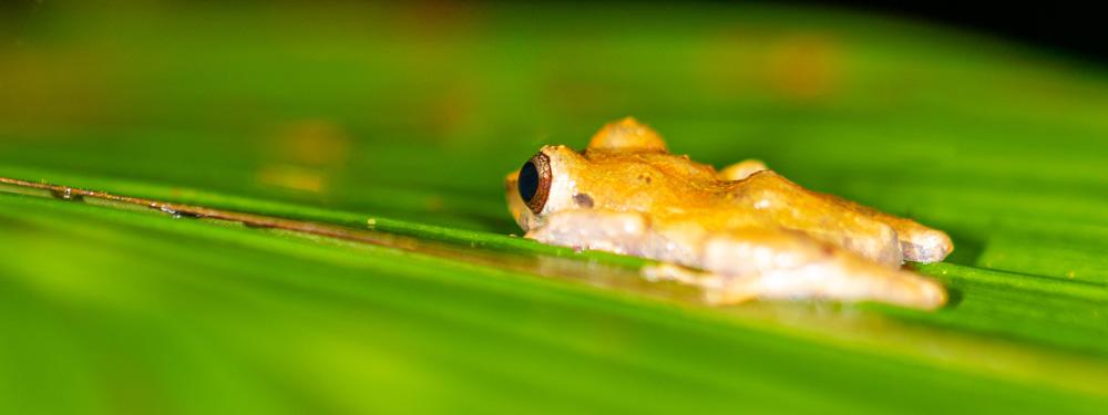 Tlalocohyla loquax