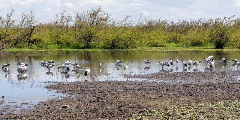 Lake Ziway surroundings and African Sacred Ibis, Threskiornis aethiopicus