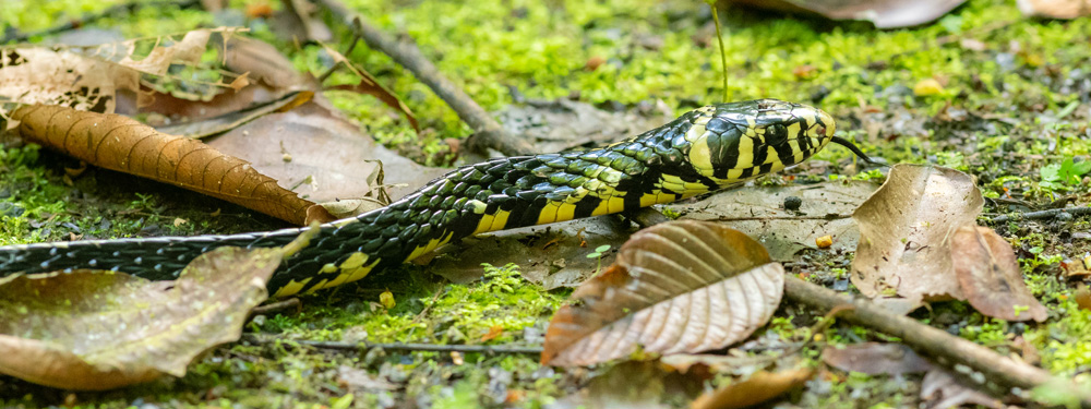 Tropical Chicken Snake,Spilotes pullatus