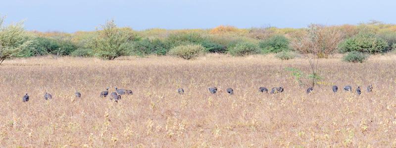 Flock of Helmeted Guineafowl, Numida meleagris. Aledeghi reserve