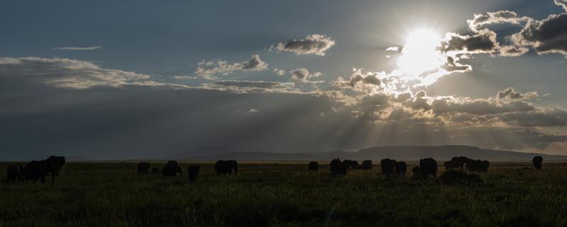 Le Serengeti. Troupeau d' éléphant de savane d'Afrique,  Loxodonta africana, au crépuscule.