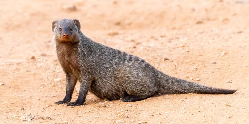Banded mongoose , Mungos mungo