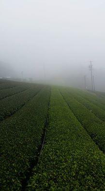 静岡県川根の有機栽培茶 樽脇園 無農薬 無化学肥料 オーガニック 樽脇園7月の茶園