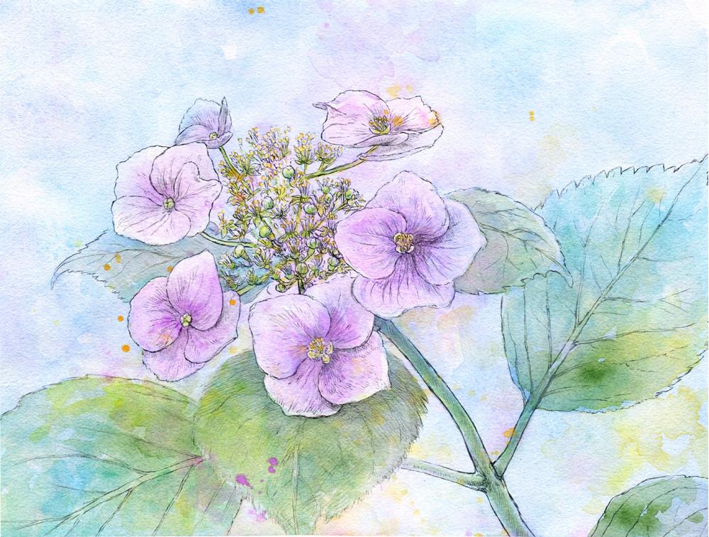 アジサイ 2017-07, K.Nishikawa,Watercolor,pen,Moulin du Roy