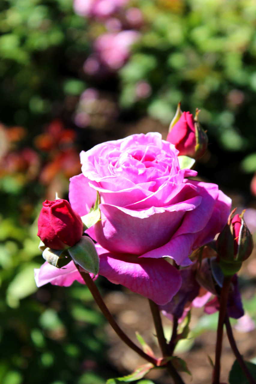 Queenstown Gardens Rosenbeet