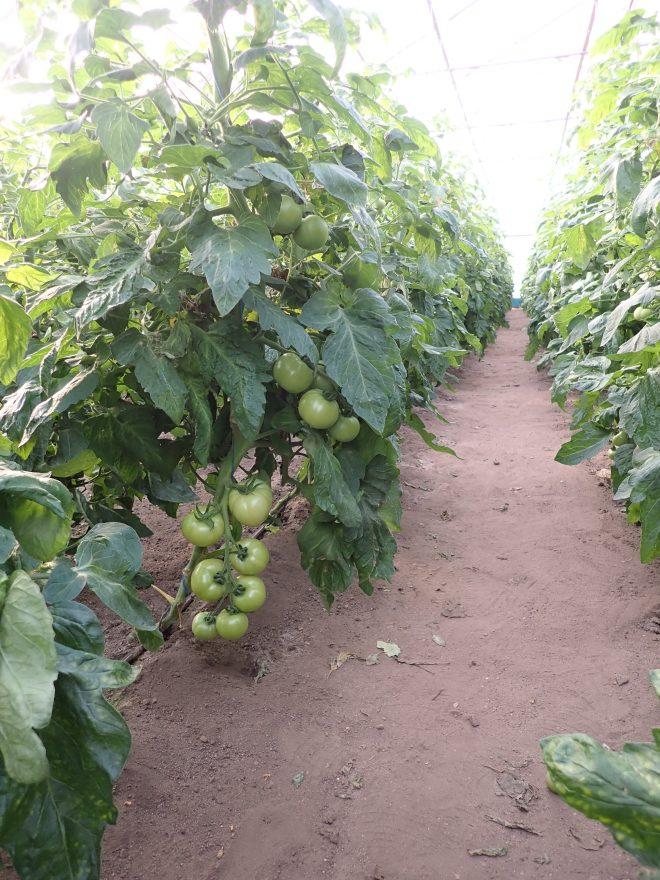 Die ersten Tomaten bekommen bald Ihre Farbe...
