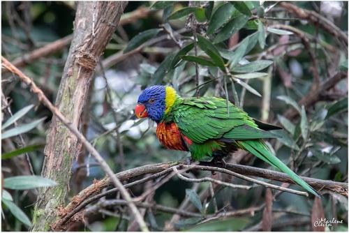 Tasmanien-Blauwangenallfarblori - Okt. 2019