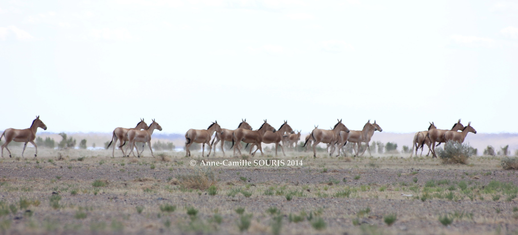 the mongolian khulan - Conservation of the Mongolian wild  hemione-khulan/Conservation de l'hémione-khulan de Mongolie