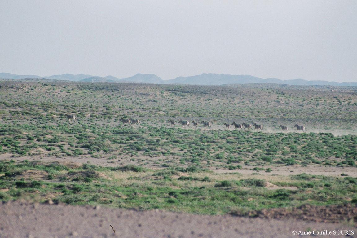 Groupe de Khulans fuyant apeurés par l'approche de notre camionnette