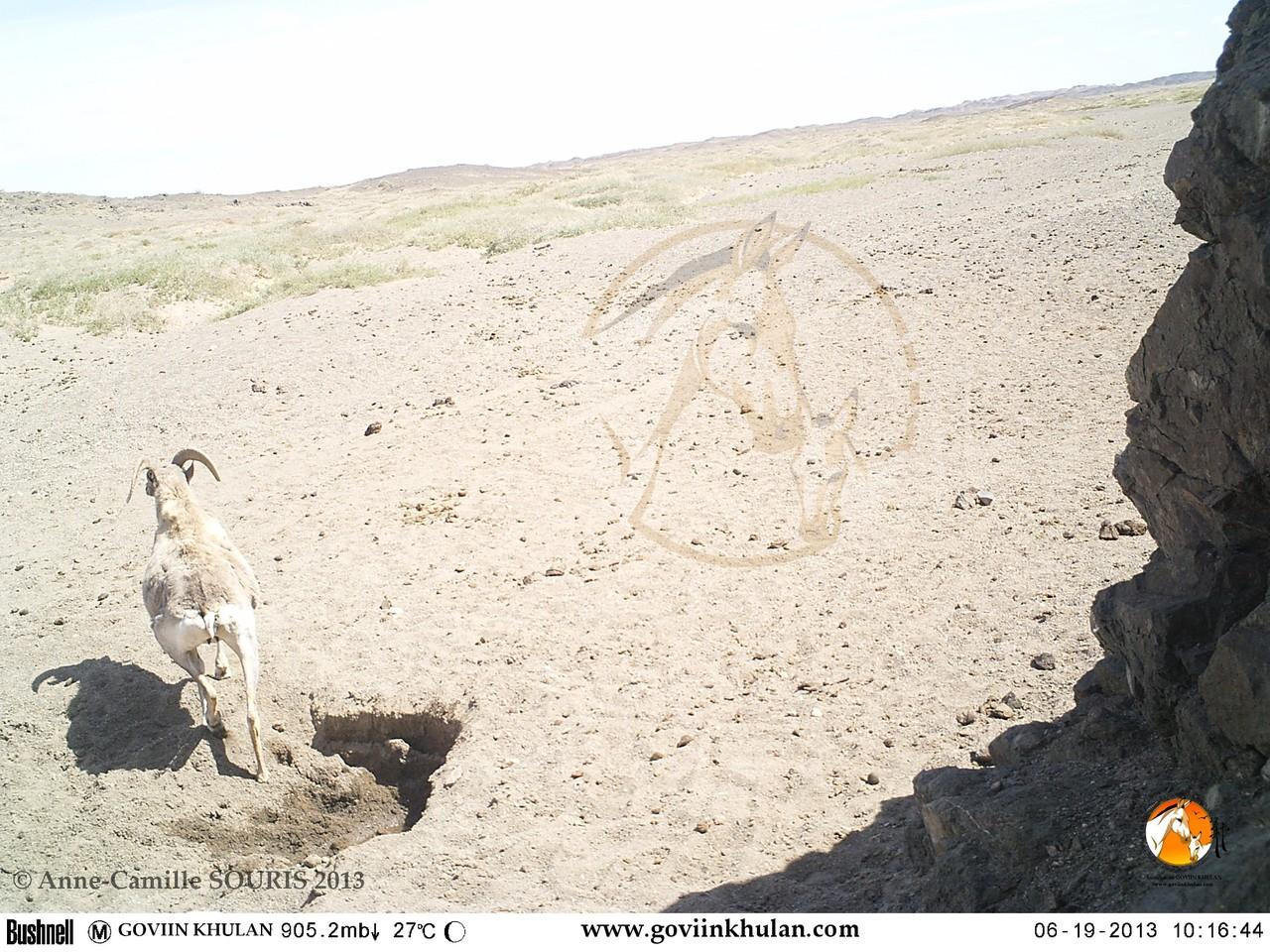 argali/moufflon sauvage quittant un trou creusé par un hémione au niveau du lit d'une rivière asséchée après s'y être abreuvé - juin 2013