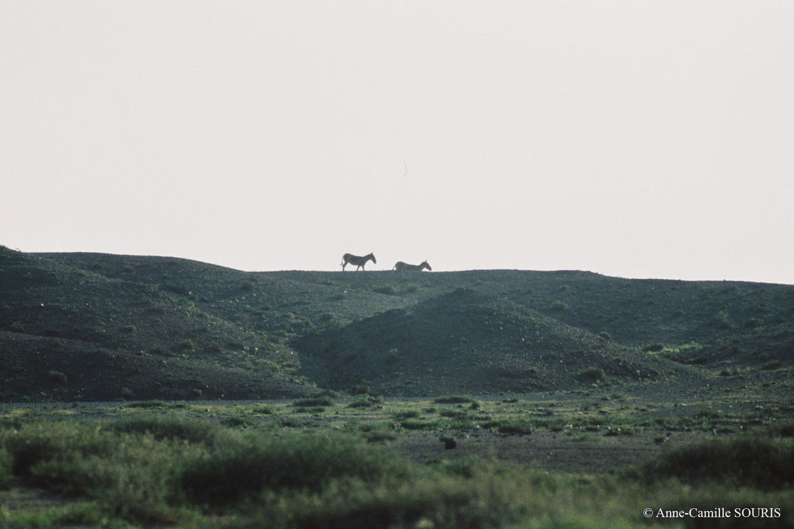 Khulans au sommet d'une colline près d'un point d'eau