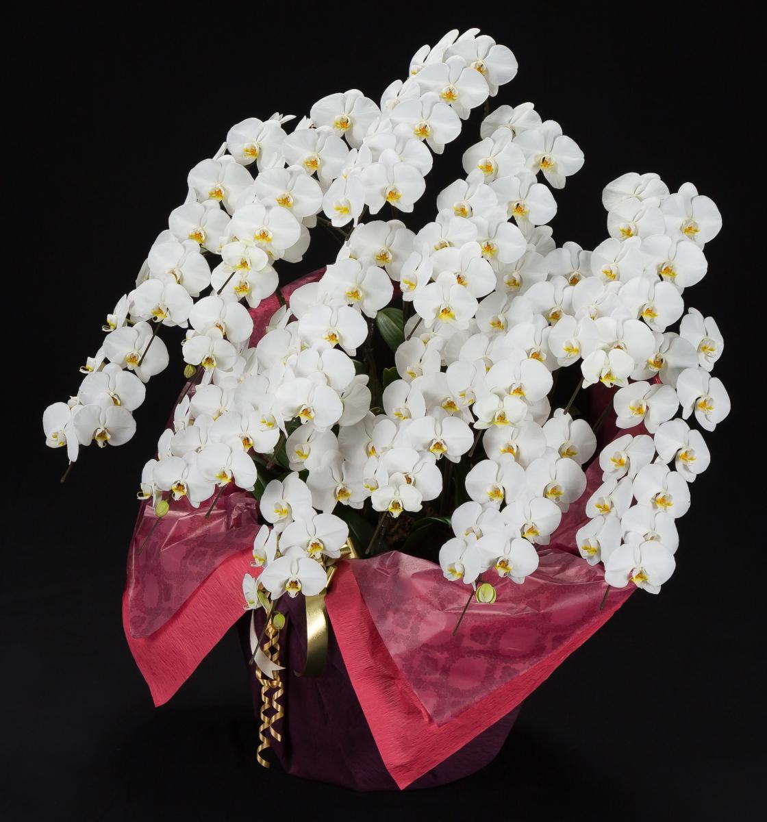 胡蝶蘭12本立 白