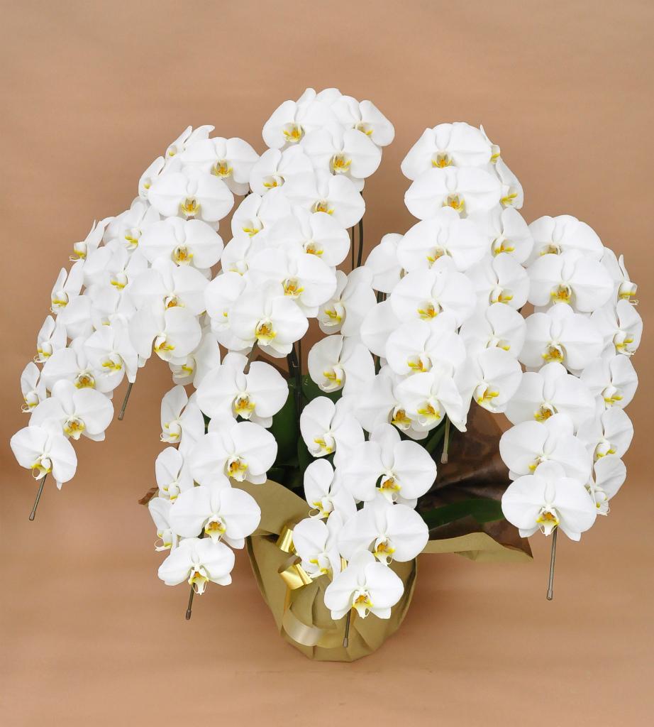 胡蝶蘭7本立 白