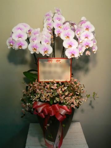 胡蝶蘭 (+観葉植物)